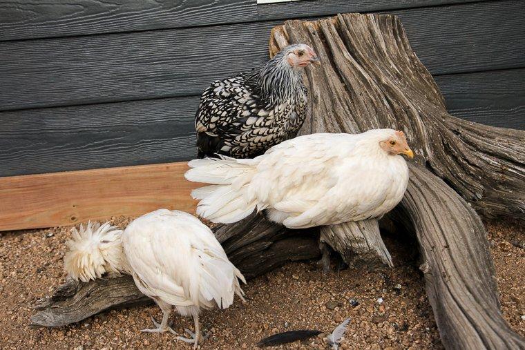 three 13-week old chickens
