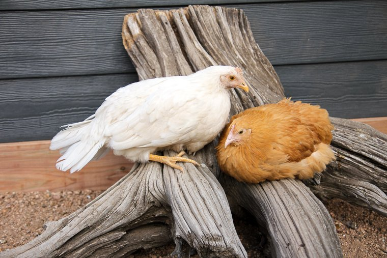 a 13-week old pearl-white leghorn and buff orpington sitting together on a tree stump